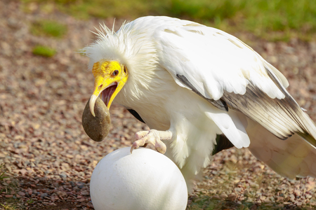 Egyptian vulture (Neophron percnopterus) bird of prey, also called the white scavenger vulture or pharaoh's chicken, breaking a big white egg with a stone in his beak.