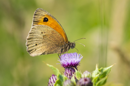 Side view wings close up of a Meadow Brown butterfly (Maniola jurtina) feeding on a purple Thistle flower