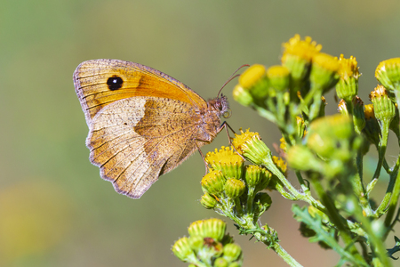 Closeup side view of a Brown meadow butterfly Maniola jurtina feeding nectar on yellow flowers