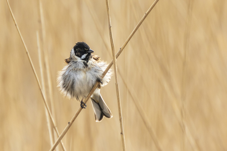 Closeup of a common reed bunting bird Emberiza schoeniclus singing a song on a reed plume Phragmites australis. The reed beds waving due to strong winds in Spring season on a cloudy day. Reklamní fotografie