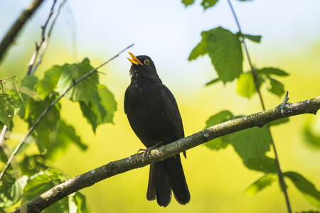 A male european Blackbird (turdus merula) singing in a tree with on a clear, sunny day in Spring season.
