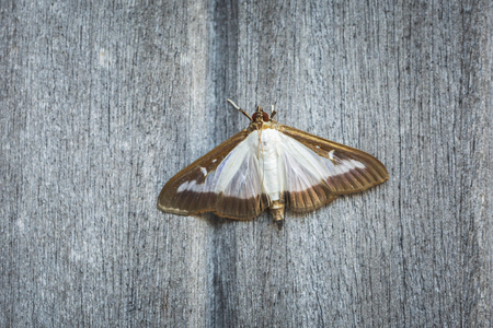 Box tree moth, Cydalima perspectalis, an invasive species in Europe and has been ranked the top garden pest in Great Britain