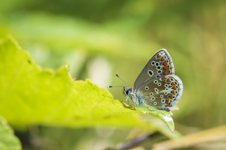 Close up of the brown argus butterfly, Aricia agestis, resting on vegetation