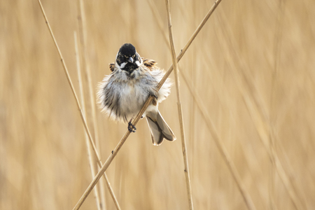 Closeup of a common reed bunting bird Emberiza schoeniclus singing a song on a reed plume Phragmites australis. The reed beds waving due to strong winds in Spring season on a cloudy day.