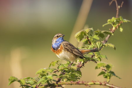 A blue-throat bird (Luscinia svecica cyanecula) singing to attract a female during breeding season in Springtime
