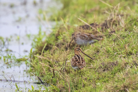 Common snipe Gallinago gallinago foraging in grassland during a cloudy day
