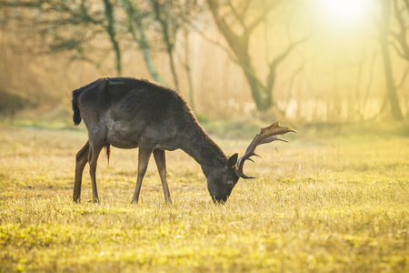 Fallow deer (Dama Dama) stag grazing in a yellow meadow during a foggy sunset. The nature colors are clearly visible on the background, selective focus is used.