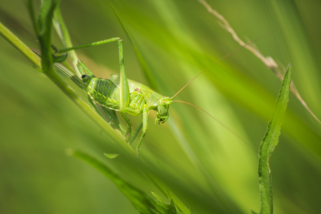 Macro close-up of a female Great Green Bush-cricket, Tettigonia viridissima with ovipositor. 写真素材