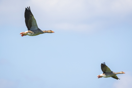 Closeup of two greylag geese (Anser Anser) in flight against a blue sky 版權商用圖片