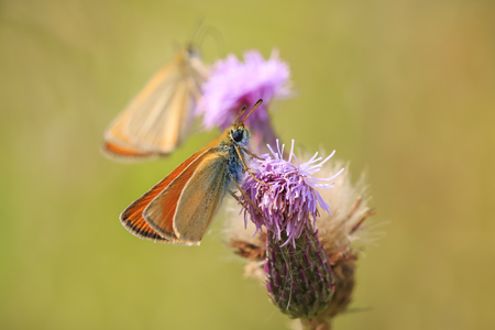 Essex skipper (Thymelicus lineola) pollinating and feeding on purple thistle flowers in a meadow during a sunny day Stockfoto
