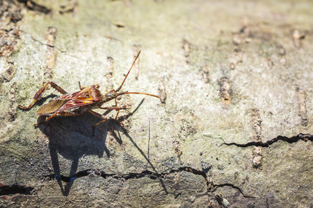 Western conifer seed bug insect, Leptoglossus occidentalis, or WCSB, crawling on wood in bright sunlight