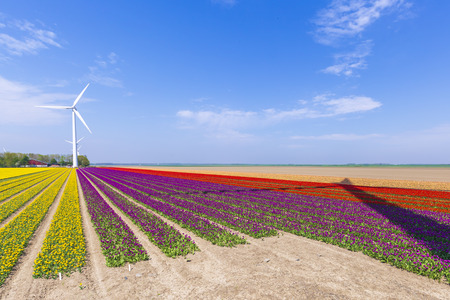 Colorful yellow Dutch tulips in a flower field and a windmill in Holland under a sunny blue sky Stockfoto