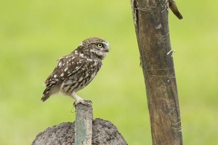 Closeup of a Little owl, Athene noctua, bird of prey perched and resting while hunting above farmland. Standard-Bild - 114285482