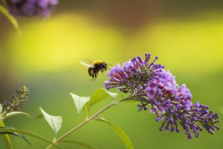 Primer plano de una abeja carda común, Bombus pascuorum, alimentando el néctar de un arbusto de mariposa púrpura (Buddleia davidii) Foto de archivo