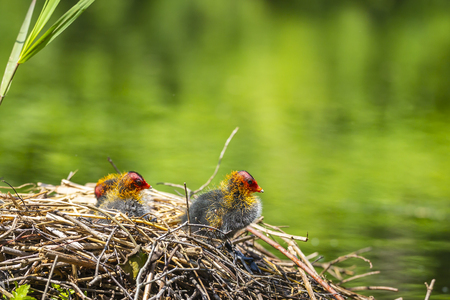 Closeup of a nest with Eurasian coot, Fulica atra, chicks on a colorful and sunny day during Spring being fed by a parent. Low point of view Imagens