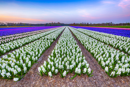 Colorful blooming flower field with white and blue hyacinths during sunset. Famous tourist destination to visit is Springtime 版權商用圖片