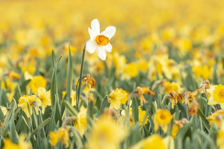 Colorful blooming flower field with yellow Narcissus or daffodil closeup during sunset. Popular touristic destination.