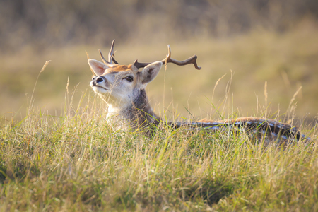 Fallow deer (Dama Dama) stag with big antlers resting in a meadow. The nature colors are clearly visible on the background, selective focus is used. Stockfoto - 114285678