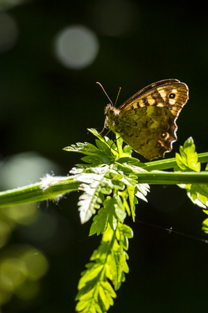 Closeup of a speckled wood butterfly, Pararge aegeria. Resting on a leaf in a forest with open wings