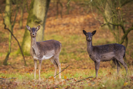 Fallow deer (Dama Dama) doe, hind or fawn in Autumn season. The Autumn fog and nature colors are clearly visible on the background. Stockfoto - 114285943