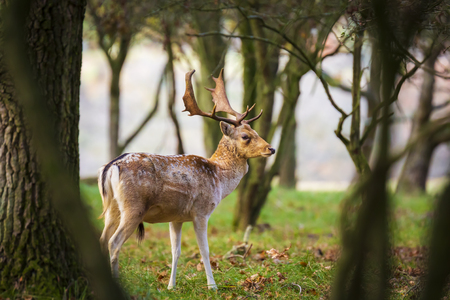 Fallow deer (Dama Dama) male walking in a forest. The Autumn sunlight and nature colors are clearly visible on the background. Stockfoto - 114286100