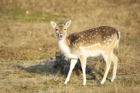 Fallow deer (Dama Dama) fawn in Autumn season. The Autumn fog and nature colors are clearly visible on the background. Stockfoto - 114286311