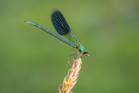 Closeup of a The banded demoiselle dragonfly or damselfly Calopteryx splendens resting on vegetation