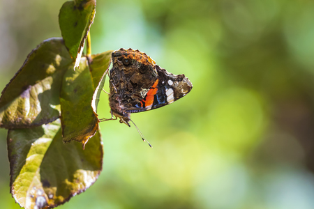 Red Admiral butterfly, Vanessa atalanta, resting on leafs in a forest