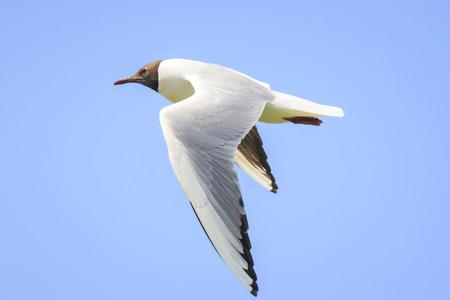 Close-up of a Black-headed gull, Chroicocephalus ridibundus, in-flight Stock Photo - 114286536