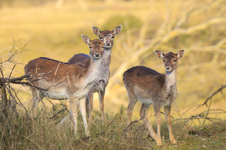 Three Fallow deer (Dama Dama) fawn standing together in Autumn season. The Autumn fog and nature colors are clearly visible on the background. Stockfoto - 114286609