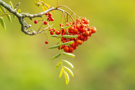 Orange fruit berries of a Sorbus aucuparia tree, commonly called rowan and mountain-ash. Blooming in bright sunlight during Autumn.
