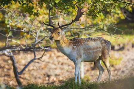 Fallow deer (Dama Dama) male walking in a forest. The Autumn sunlight and nature colors are clearly visible on the background. Stockfoto - 114286651