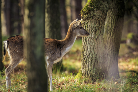 Fallow deer (Dama Dama) doe, hind or fawn in Autumn season. The Autumn fog and nature colors are clearly visible on the background. Stockfoto - 114286660