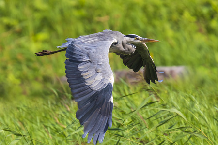 Great blue heron (Ardea herodias) waterfowl bird in flight with his wings spread and green backdrop Фото со стока