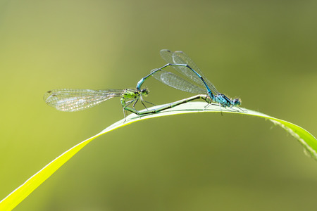 Close-up of a male and female blue-tailed damselfly or common bluetail Ischnura elegans making a mating pair in a heart or wheel shape. Stok Fotoğraf