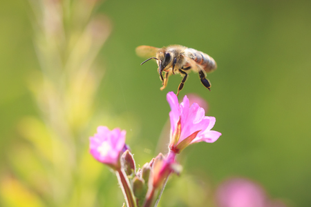 Closeup of a western honey bee or European honey bee (Apis mellifera) feeding nectar of pink flowers