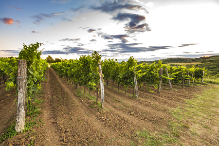Sunset at a idyllic green vineyard at the farmland of Istria, Croatia.