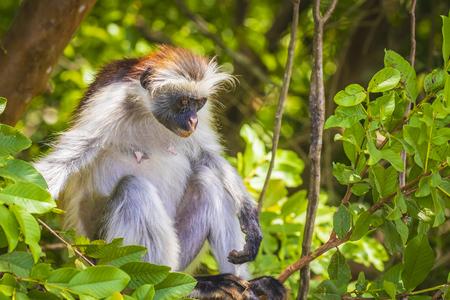Wild Zanzibar Red Colobus Monkey, Procolobus kirkii, in a green forest. Jozani Chwaka Bay National Park, Tanzania.