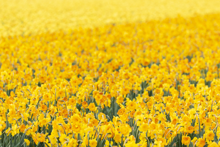Colorful blooming flower field with yellow Narcissus or daffodil during sunset. Popular touristic destination.