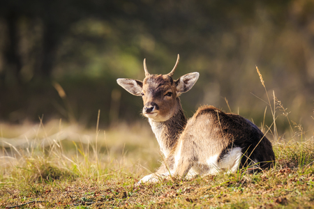 Fallow deer (Dama Dama) doe, hind or fawn in Autumn season. The Autumn fog and nature colors are clearly visible on the background. Stockfoto - 115462270