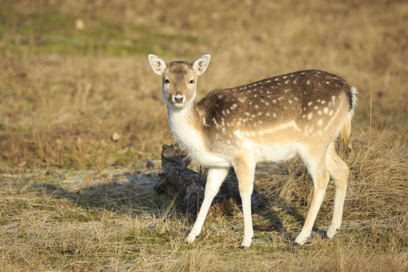 Fallow deer (Dama Dama) fawn in Autumn season. The Autumn fog and nature colors are clearly visible on the background. 免版税图像