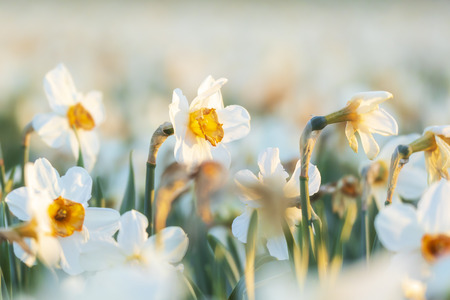 Colorful blooming flower field with white Narcissus or daffodil closeup during sunset. Popular touristic destination.