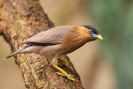 The brahminy myna or starling Sturnia pagodarum is a resident breeder in Nepal and India, a winter visitor to Sri Lanka and a summer visitor in the western and northeastern Himalayas.