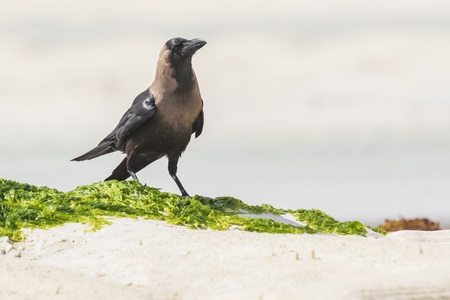 Closeup of a House crow Corvus splendens bird on a white sand beach and bright sunlight