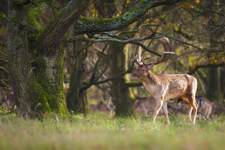 Fallow deer (Dama Dama) male walking in a forest. The Autumn sunlight and nature colors are clearly visible on the background. Stockfoto - 115505832