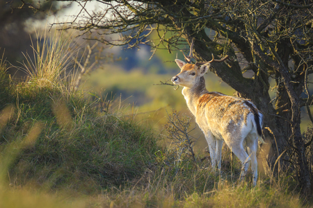 Fallow deer (Dama Dama) male walking in a forest. The Autumn sunlight and nature colors are clearly visible on the background. Stockfoto