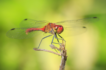 Close-up of a red colored male ruddy darter (Sympetrum sanguineum) hanging on vegetation. Resting in sunlight in a meadow. Archivio Fotografico