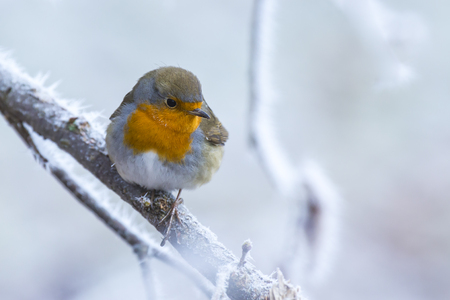 European robin Erithacus rubecula singing on a branch in snow during Winter season
