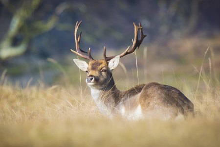 Fallow deer Dama Dama stag with big antlers resting in a yellow meadow. The nature colors are clearly visible on the background, selective focus is used.