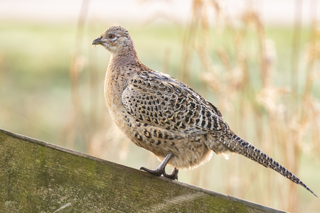 Female Pheasant hen Phasianus colchicus posing on a wooden fence on farmland in early morning sunlight